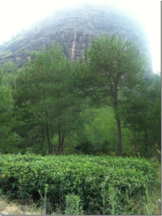 плантация Да Хун Пао в горах